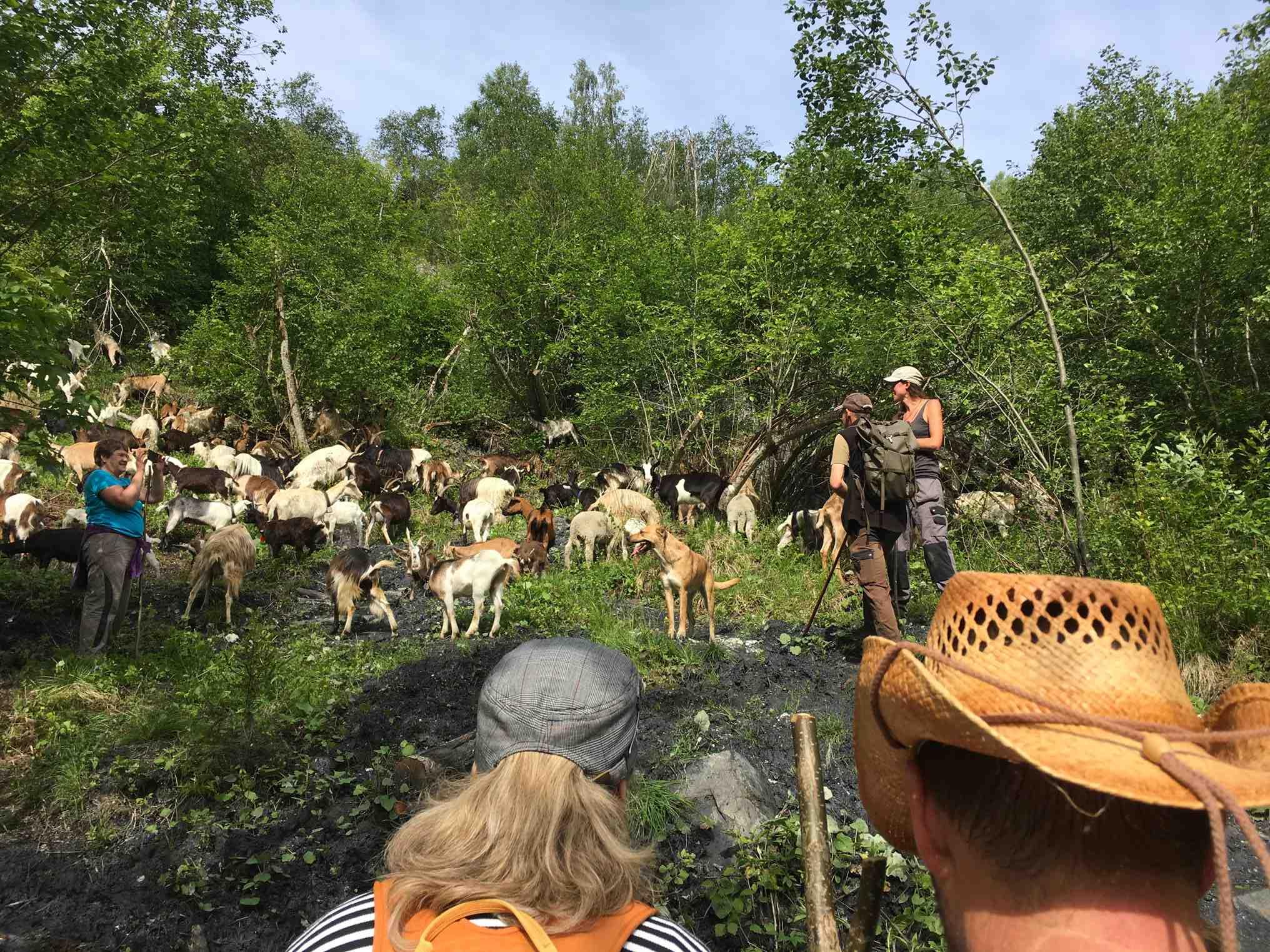 Mit 200 Ziegen unterwegs