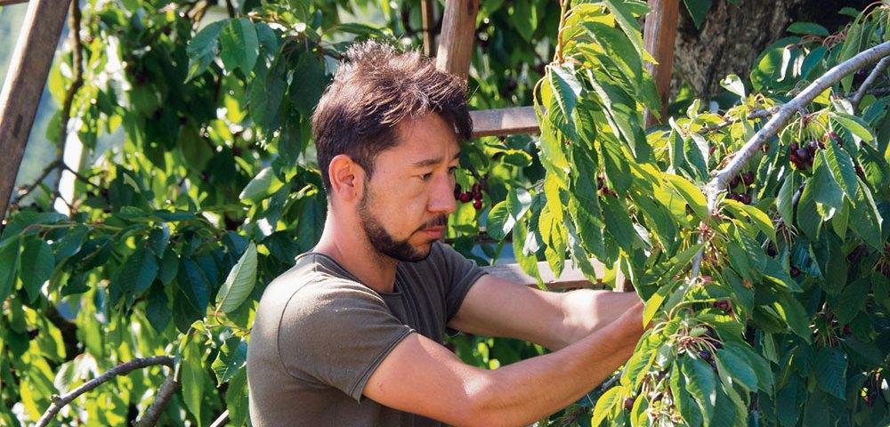 Migranten helfen bei der Ernte von Hochstammkirschen
